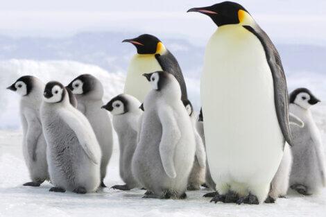 Os pinguins são os melhores pais do reino animal.