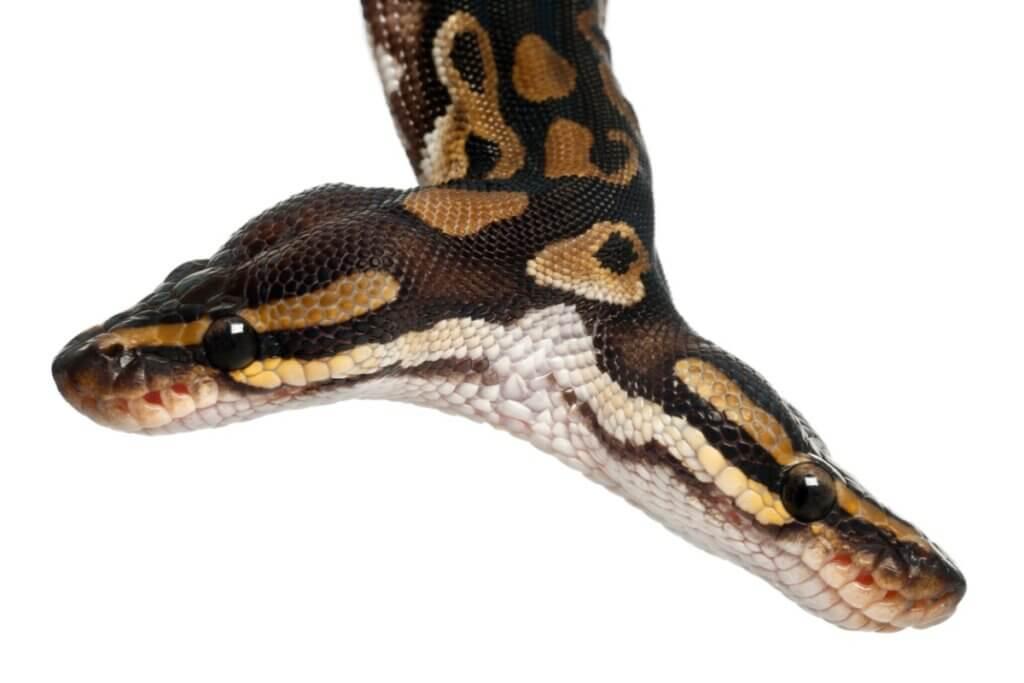 Curiosidades sobre as cobras de duas cabeças