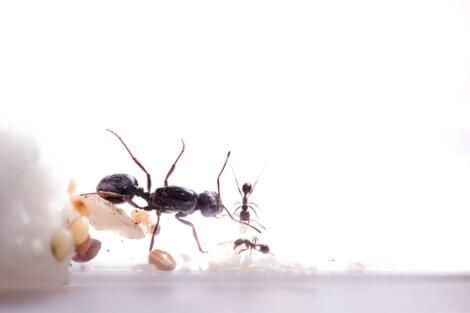 As formigas se comunicam.
