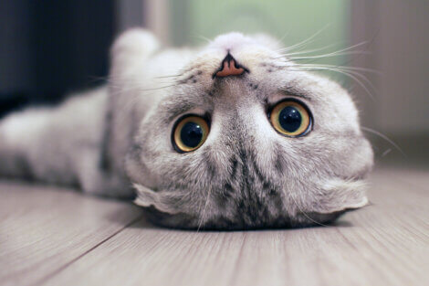 Os olhos azuis de um gato.