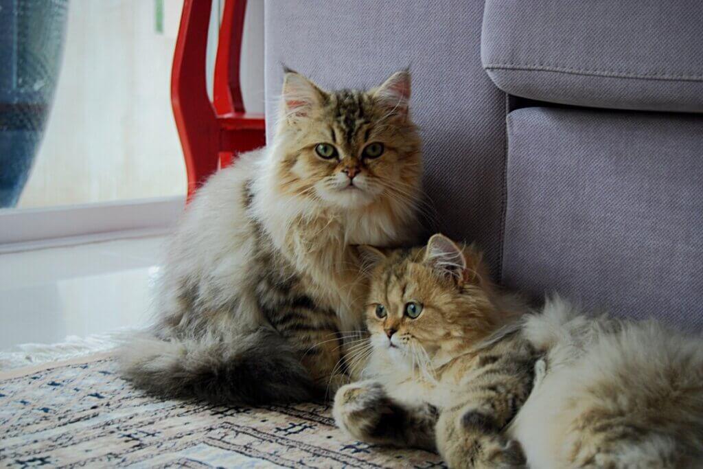 Gatos gêmeos existem?