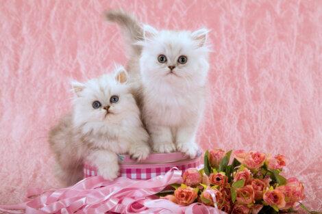 Dois gatos brancos peludos