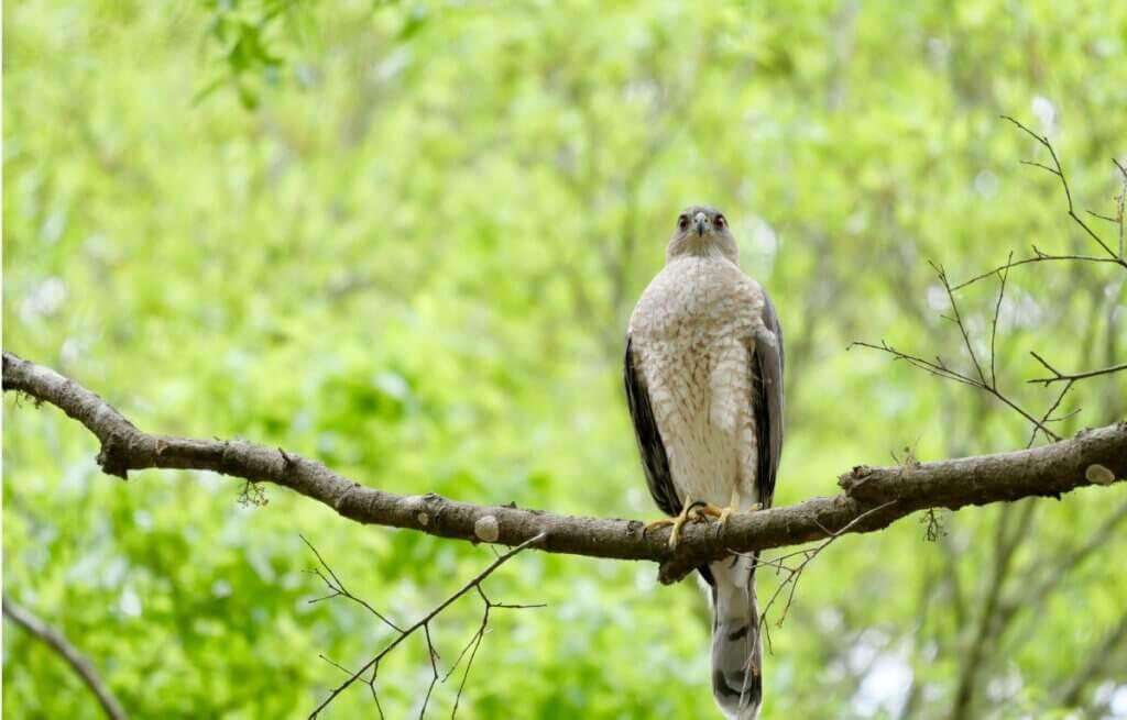 Gavião-miúdo: habitat, características e distribuição
