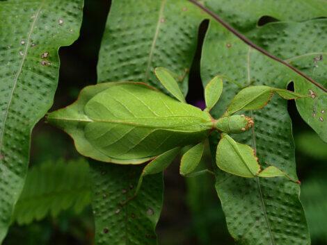 A camuflagem de um inseto-folha.