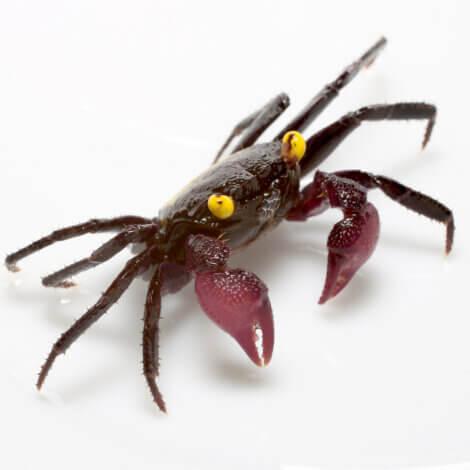 Caranguejo vampiro: animais que você não sabia que existiam