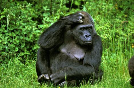 Um gorila na selva