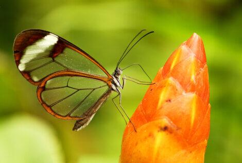 Borboleta-transparente: um dos  animais que você não sabia que existiam