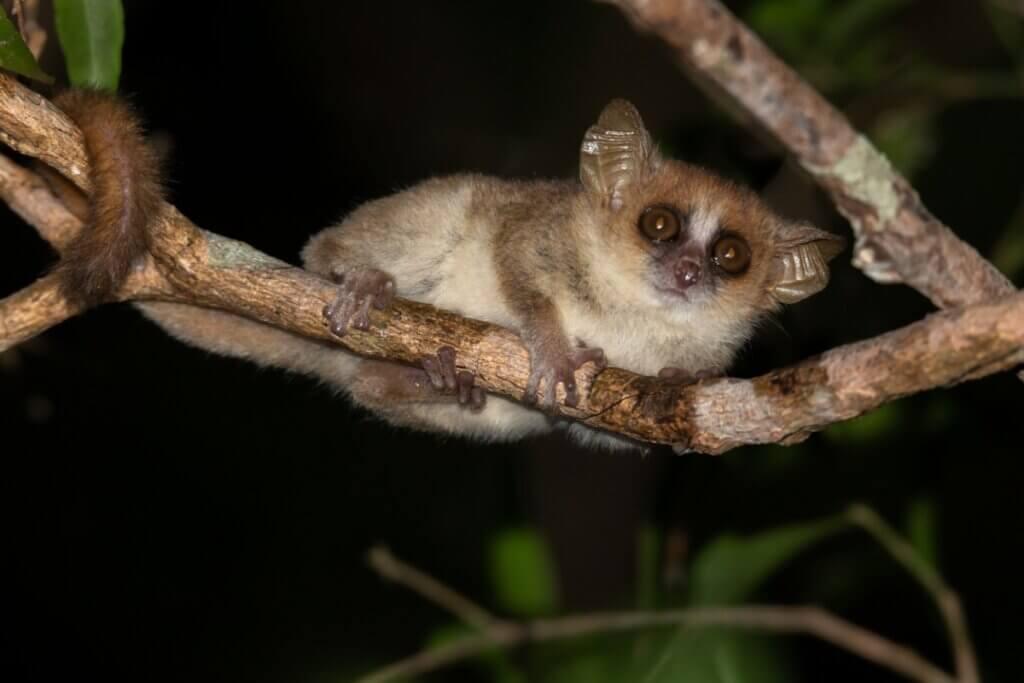 Lêmure-rato-cinza: características, habitat e reprodução