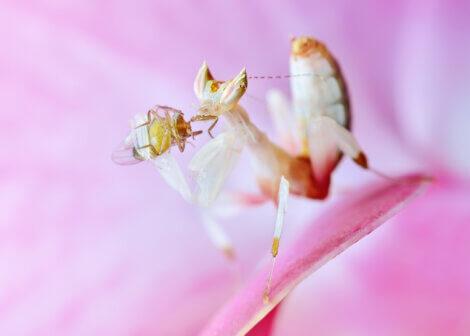 Uma louva-a-deus-orquídea comendo um inseto.