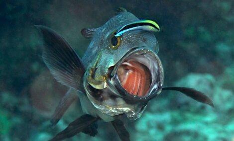 O peixe mais longevo comendo outro peixe.