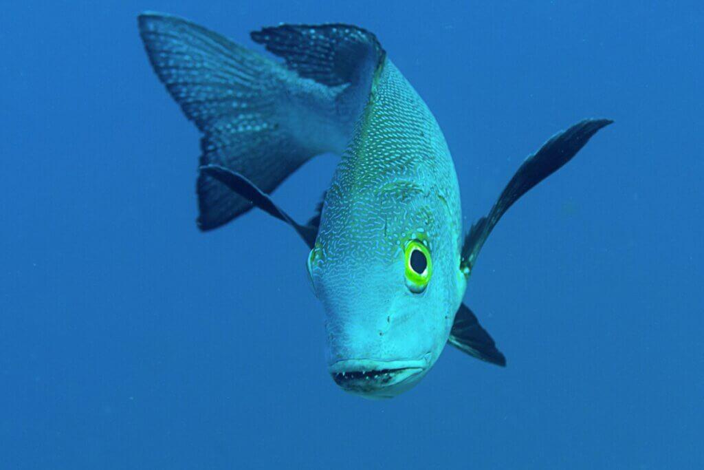 Macolor macularis, o peixe mais longevo