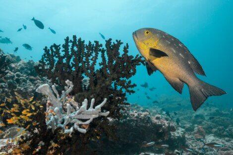 Um Macolor Macularis em um recife.