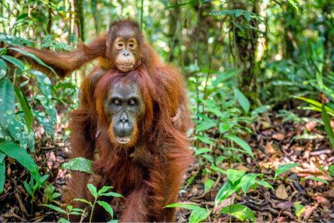 Orangotangos fêmeas são algumas das melhores mães da natureza.