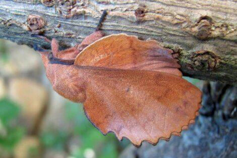 Um dos métodos de defesa dos insetos é a aparência de uma folha.