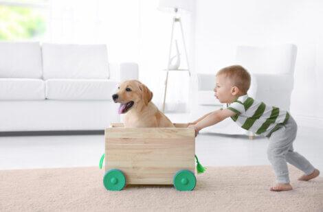 Um menino puxando um carrinho com um Labrador dentro.