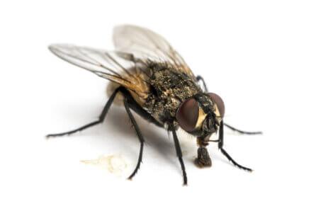 As moscas são animais ovovivíparos dependendo do tipo de reprodução.