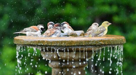 Alguns pássaros se banham em uma fonte.
