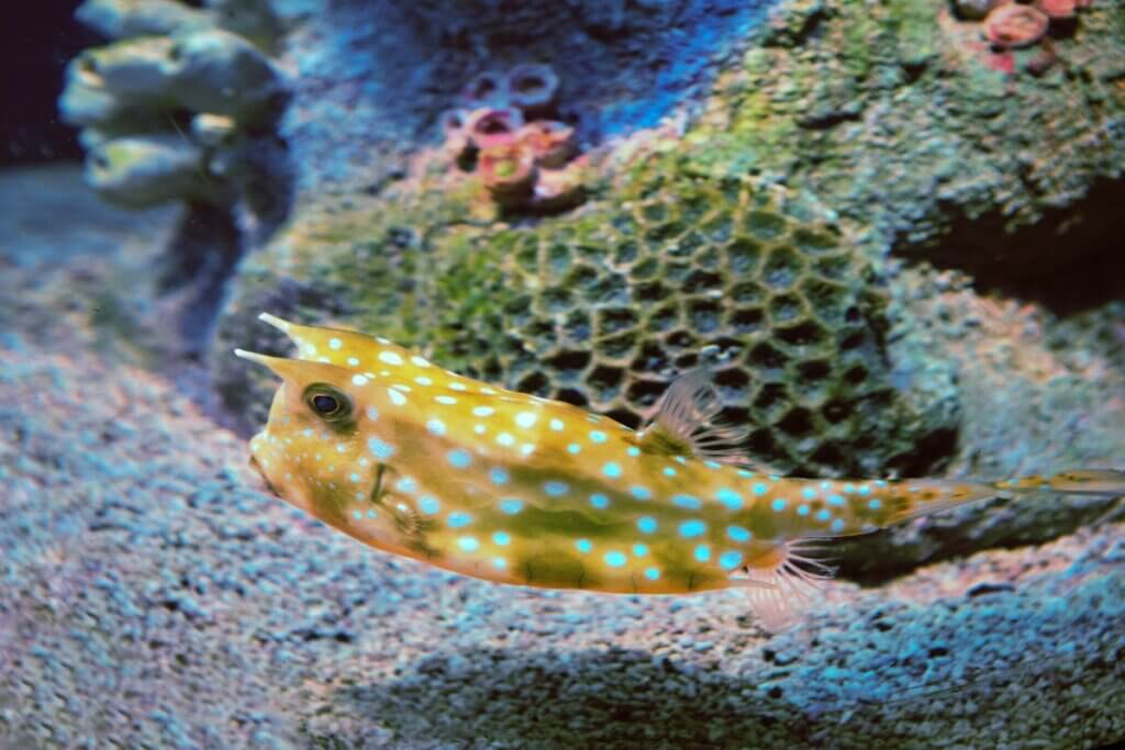 Peixe-cofre: características do peixe mais quadrado do mundo