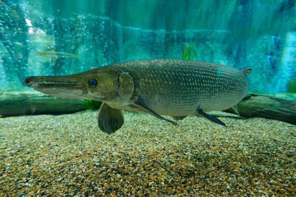 O que é um peixe-jacaré e onde habita?