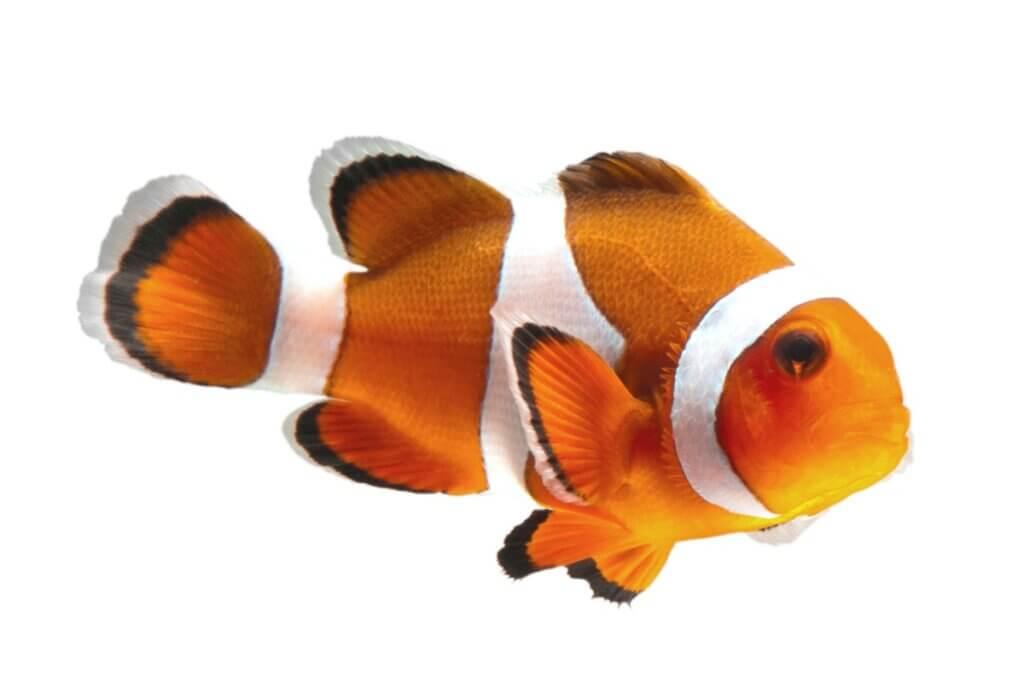 Cuidados com o peixe-palhaço