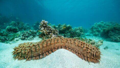 Um pepino-do-mar na areia.