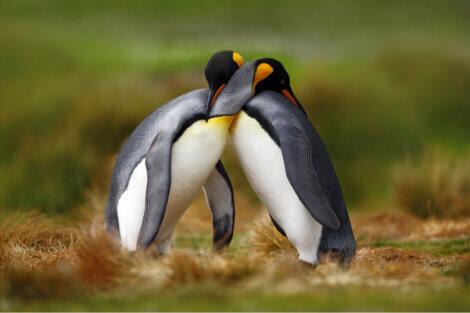Dois espécimes de pinguim-imperador.