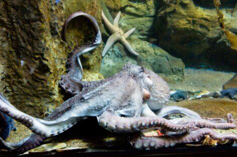 Um polvo-gigante-do-pacífico em um aquário.
