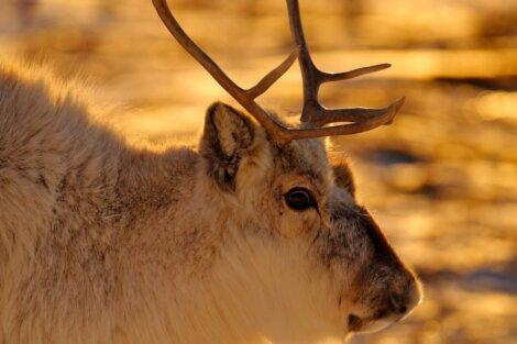 As renas são animais migratórios.