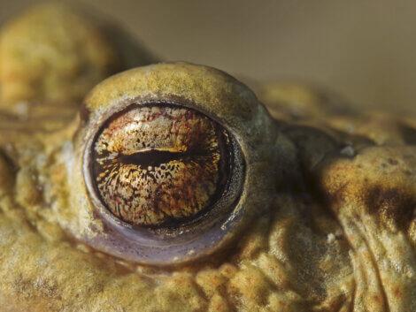 O olho de um sapo.