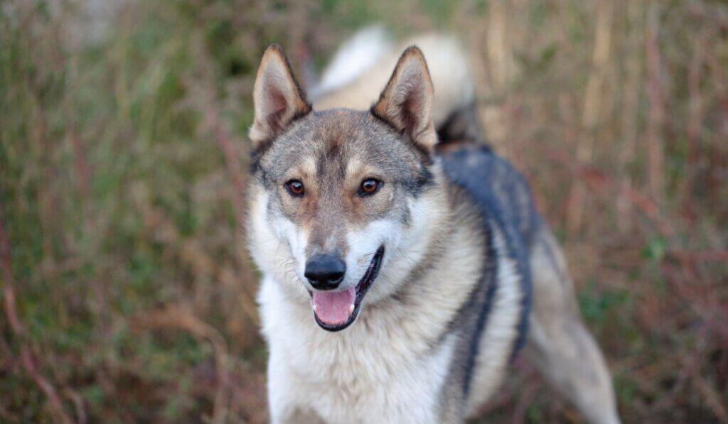 Cão shepsky: origem, características e cuidados