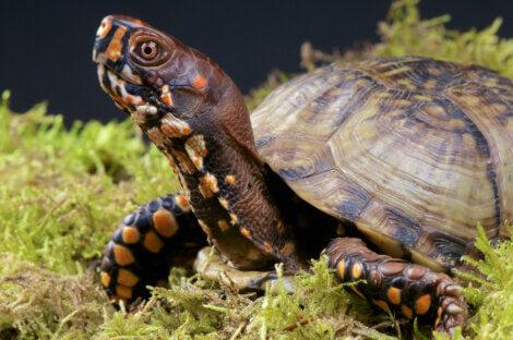 Uma espécie de tartaruga dentro da convenção CITES.