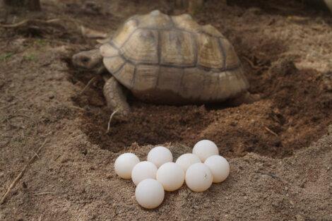 Os animais de acordo com seus tipos de reprodução podem ser ovíparos.