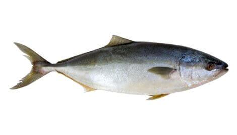 Atum: um dos peixes mais rápidos do mundo.