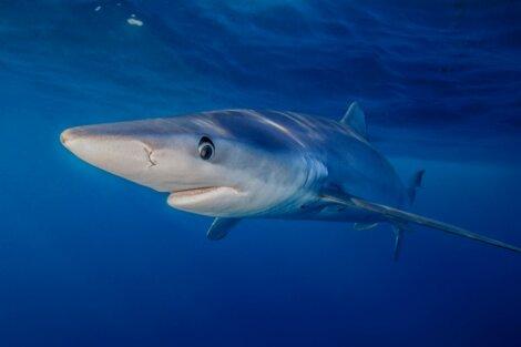 Tubarão-azu: um dos peixes mais rápidos