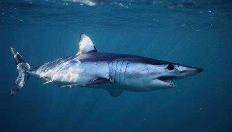 Tubarão-mako (anequim)