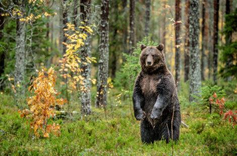O urso-pardo é um dos animais mais emblemáticos da Espanha.
