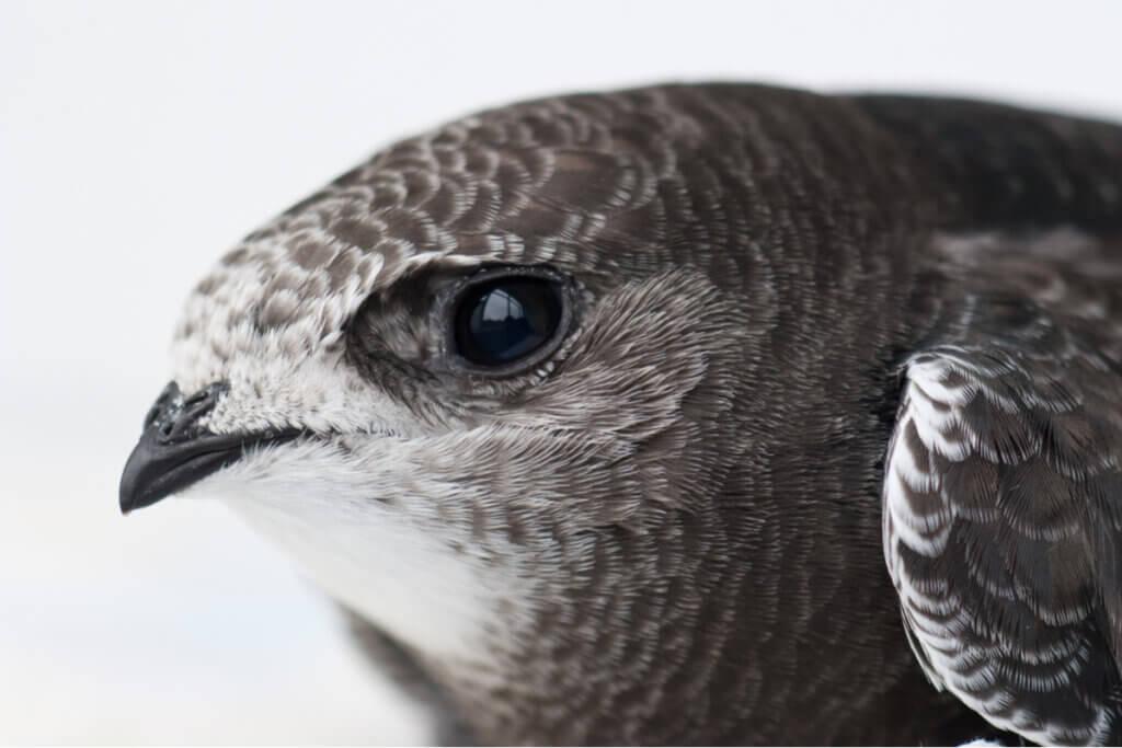 O andorinhão-preto é a ave do ano de 2021