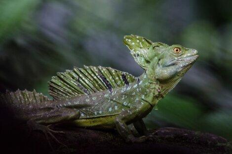 Existem vários lagartos venenosos.