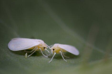 Uma mosca branca em uma folha. Um dos animais que atacam as plantações agrícolas.