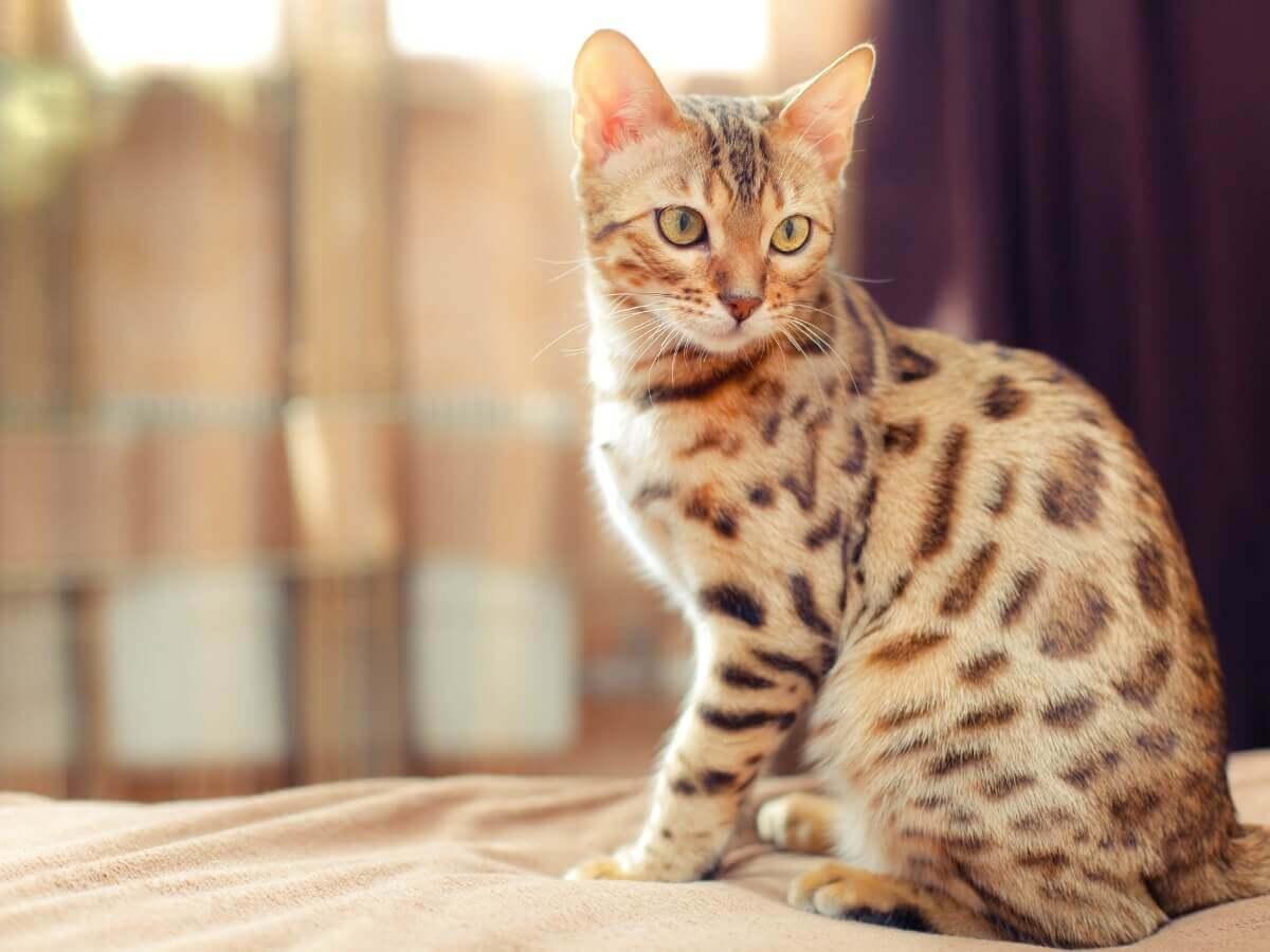 Um gato híbrido posando.