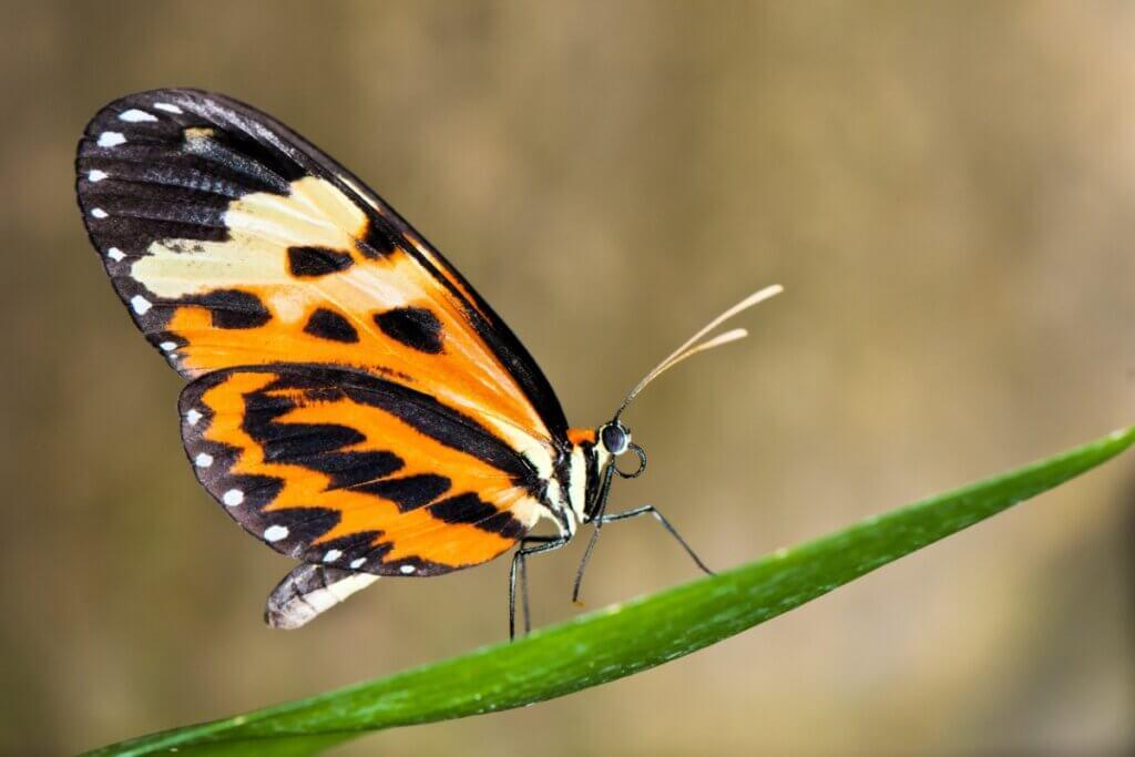As borboletas podem mudar a cor de suas asas?