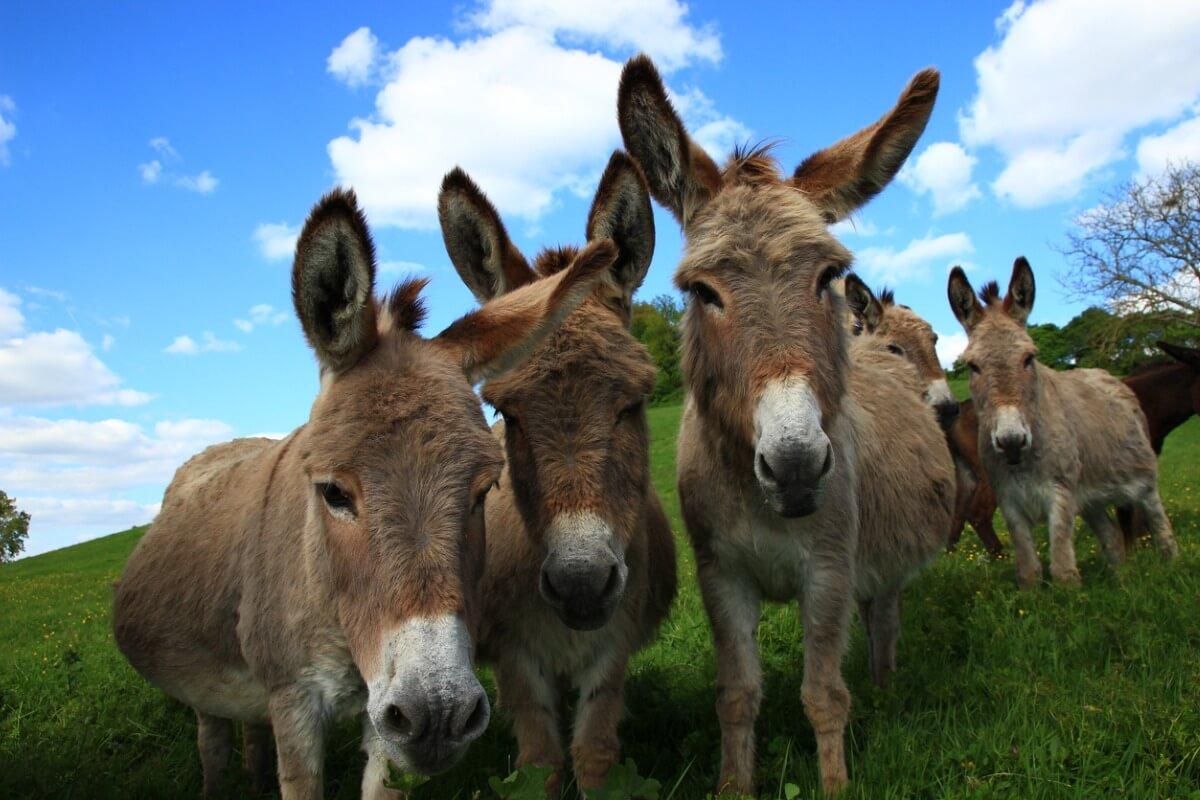 Burrolândia é um lugar onde os burros podem se recuperar de seus traumas.