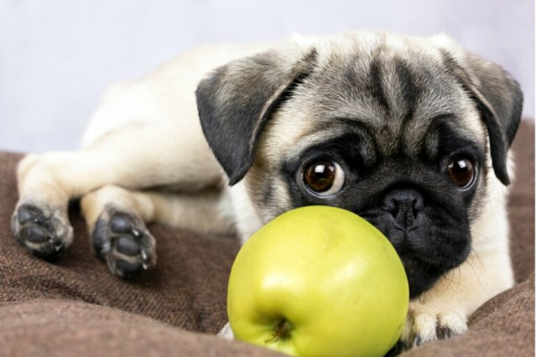 Os cães podem comer maçãs?