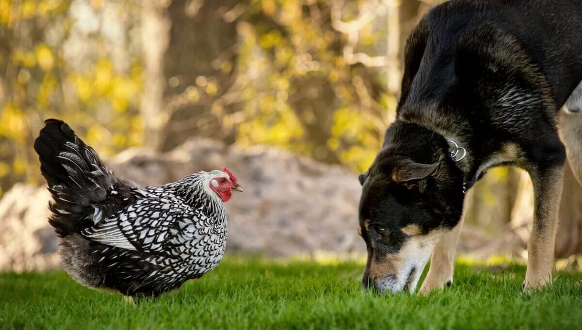 Um cachorro e uma galinha se olham.