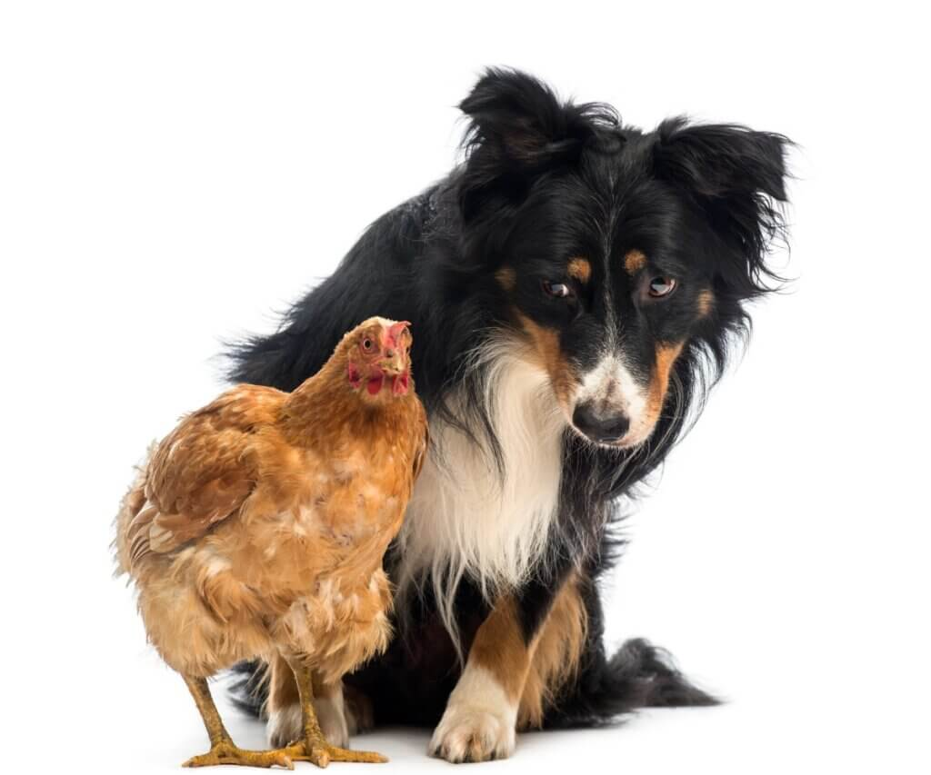 Por que meu cachorro ataca as galinhas e como evitar?