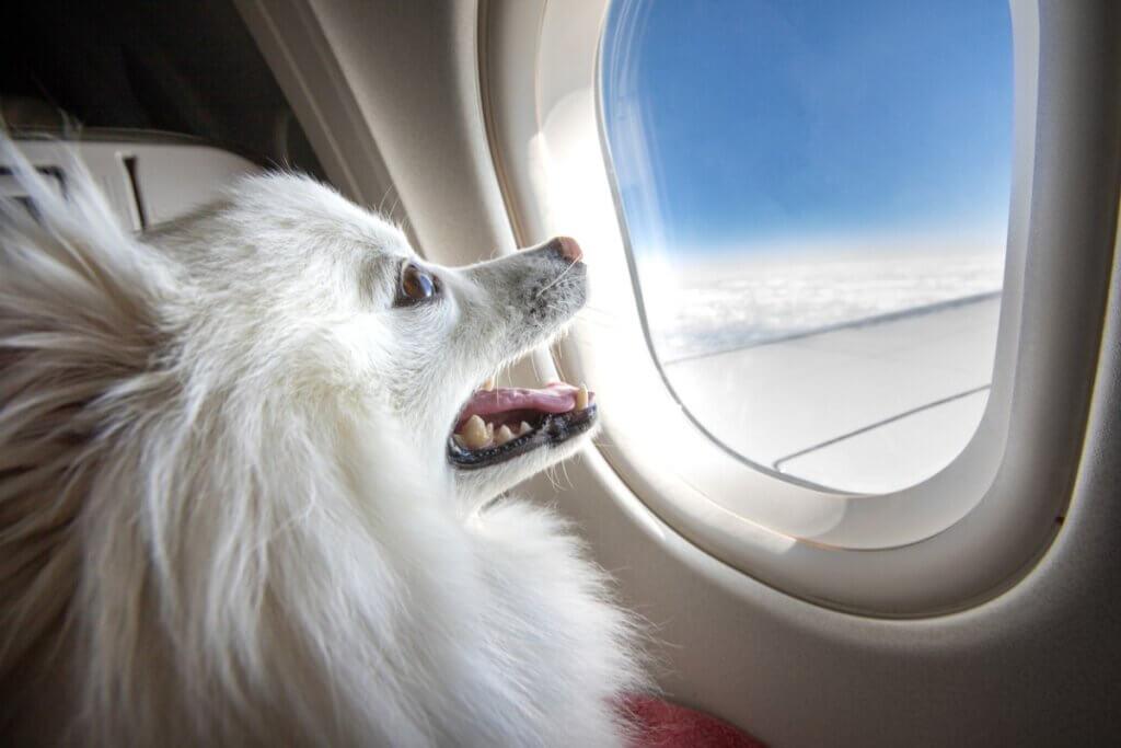 Quais raças de cães não podem viajar de avião?