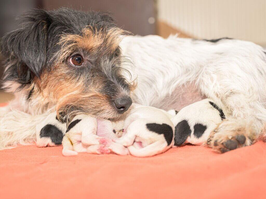 A alimentação de uma cadela após o parto