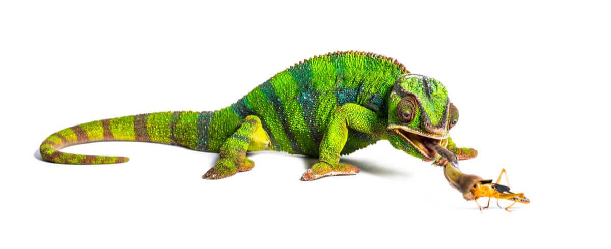 Um dos animais de Madagascar.