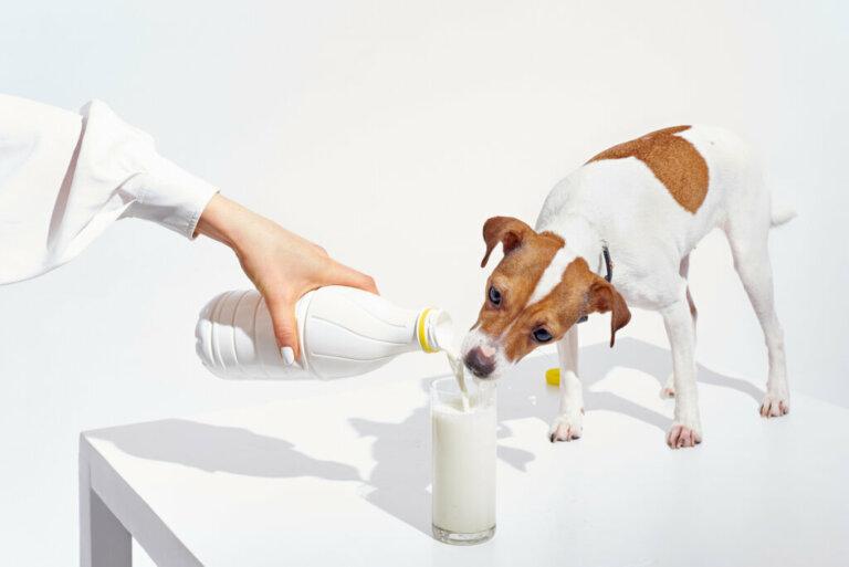 Os cães podem beber leite?