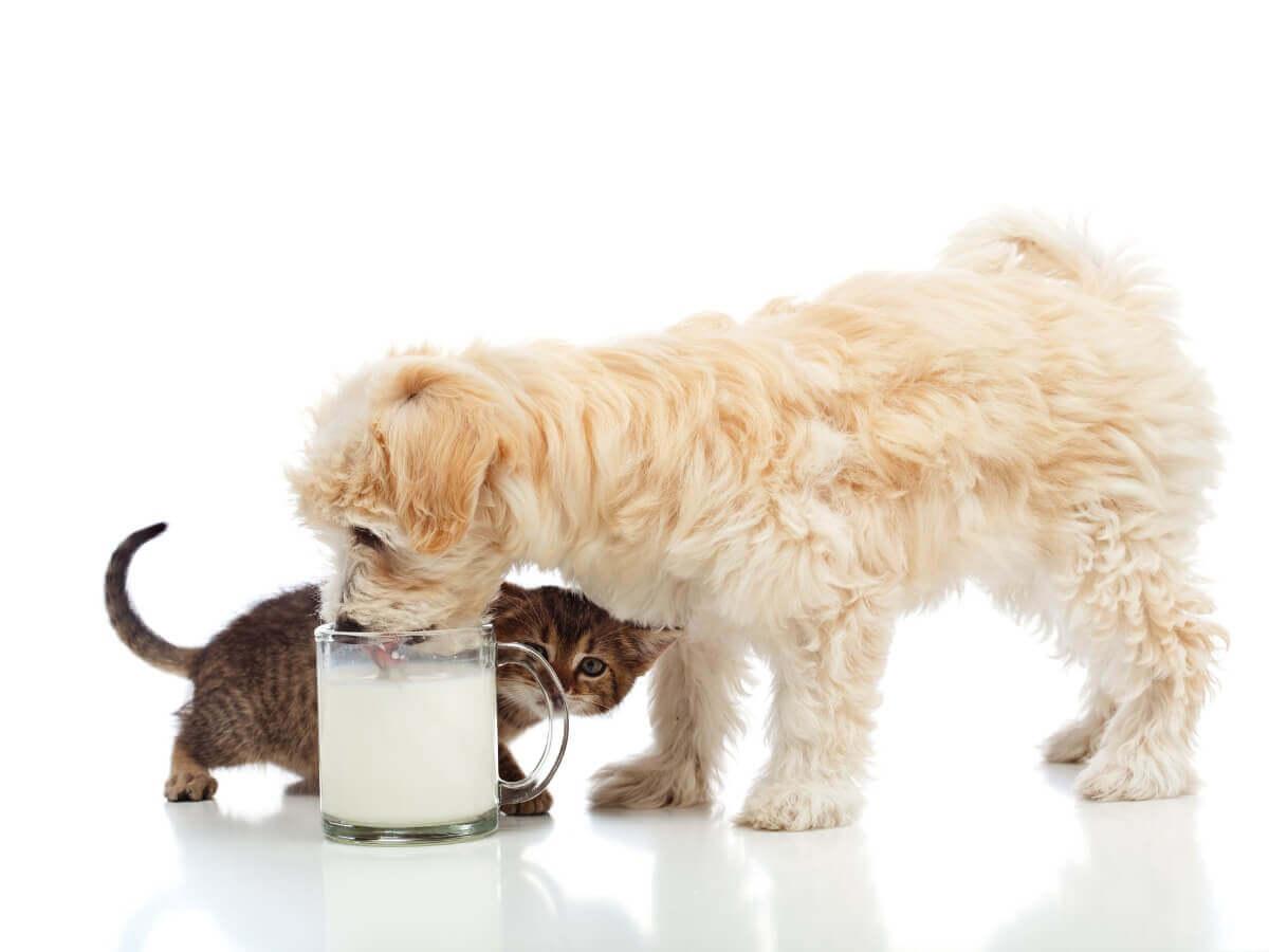 Um cachorro pode beber leite?